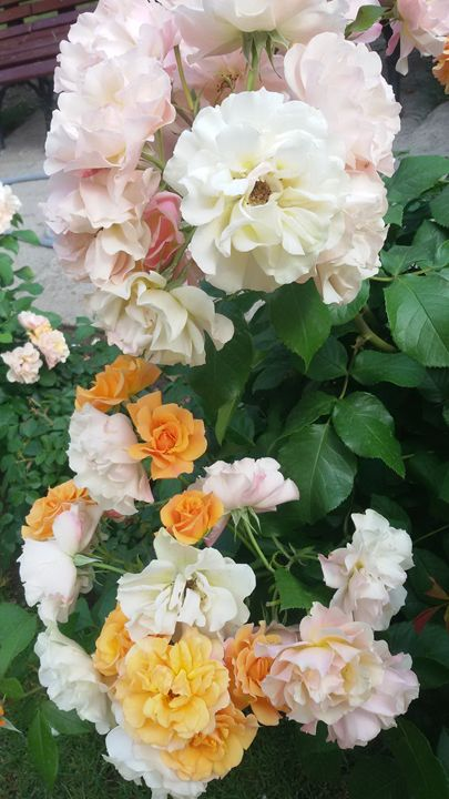 Yellow roses 2 - Alexandra Luiza Dahl