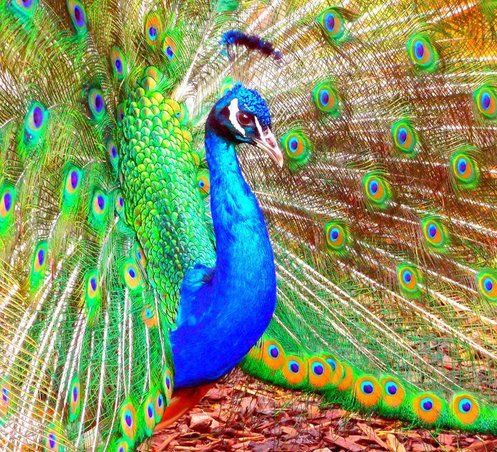 Peacock beauty - Alexandra Luiza Dahl