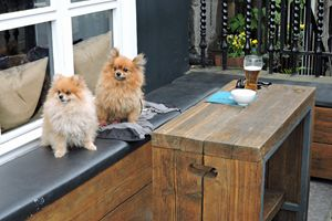 Pomeranians Sharing A Beer (color)