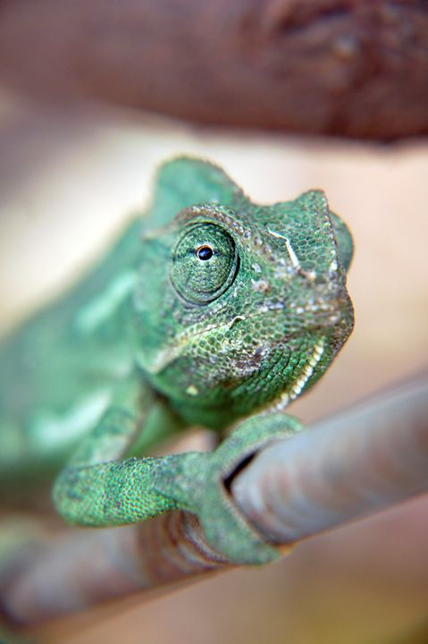 close up of a chameleon - PhotoStock-Israel