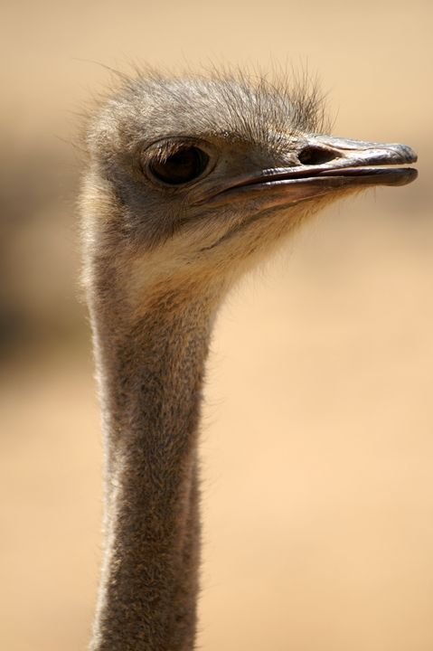 Close up of an ostrich - PhotoStock-Israel
