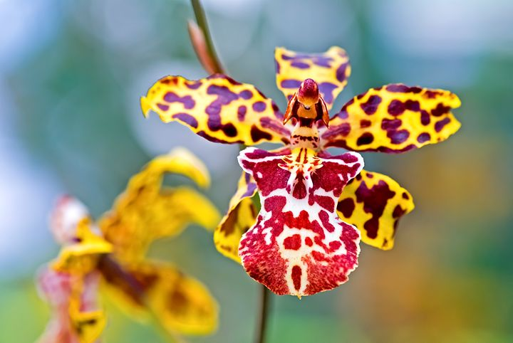 Yellow tiger spotted Orchid - PhotoStock-Israel
