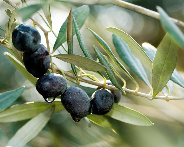 Black Olives on an Olive tree - PhotoStock-Israel