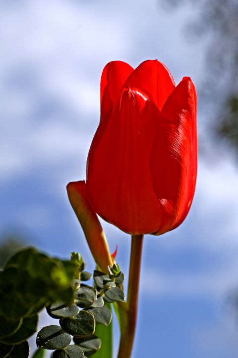 Red tulip growing in a garden - PhotoStock-Israel