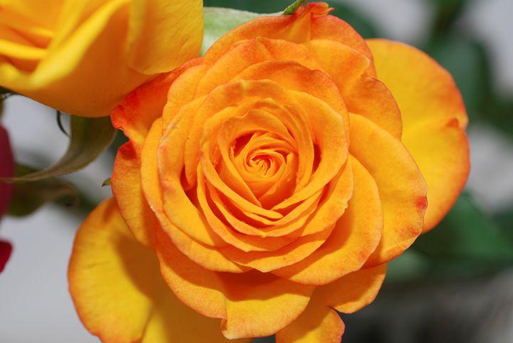 Yellow pink rose - PhotoStock-Israel