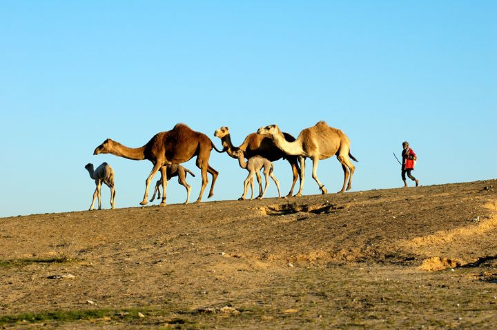 A bedouin and a herd of camels - PhotoStock-Israel