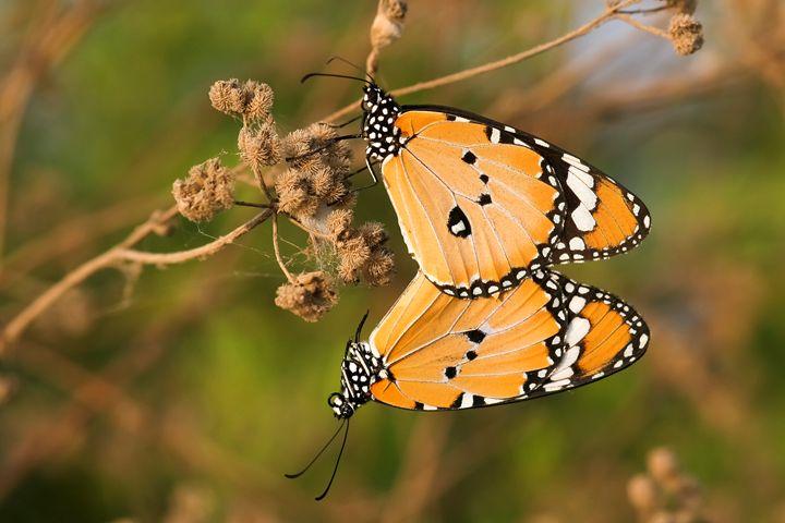 Plain Tiger (Danaus chrysippus) - PhotoStock-Israel