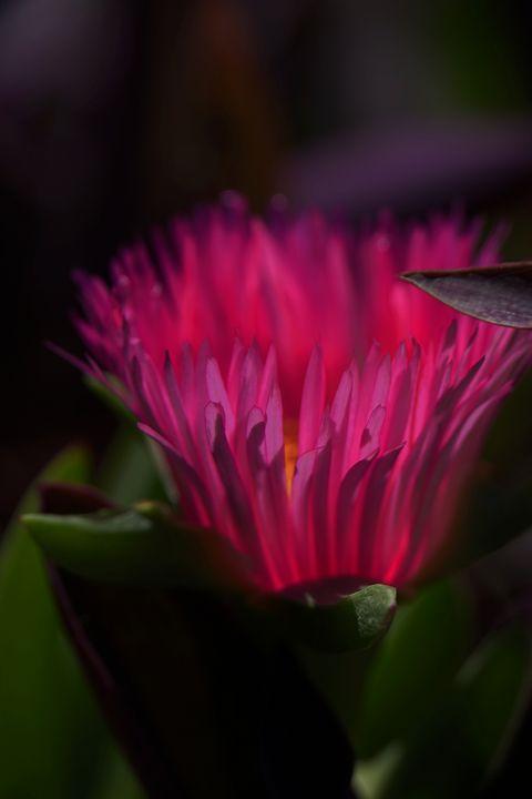 Closeup of a pink garden flower - PhotoStock-Israel