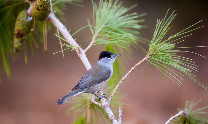Male blackcap (Sylvia atricapilla) - PhotoStock-Israel
