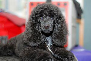black miniature poodle - PhotoStock-Israel