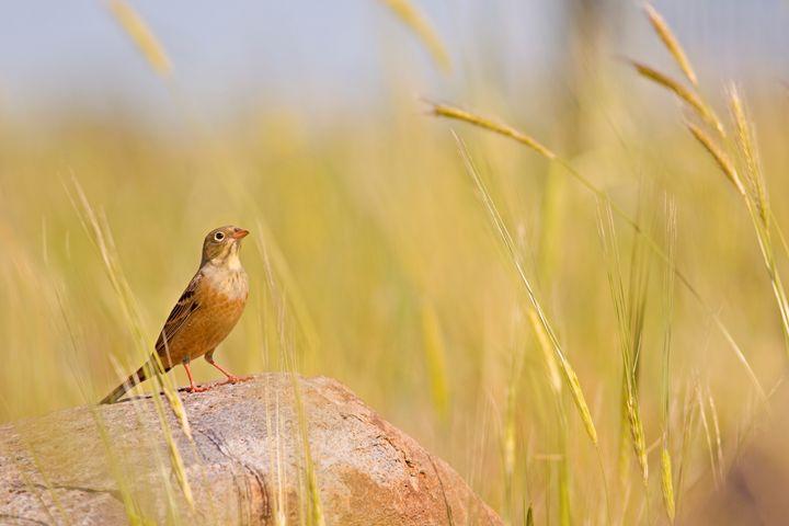 Ortolan Bunting (Emberiza hortulana) - PhotoStock-Israel