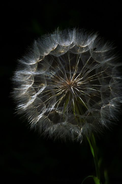 Dandelion blowball - PhotoStock-Israel