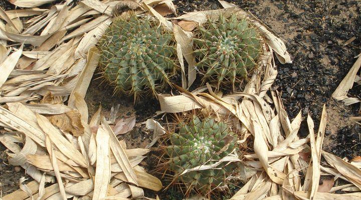 Cactus - CLA