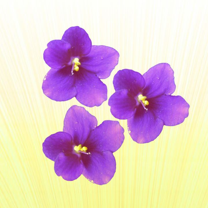 African violet - Purple or lilac - CLA