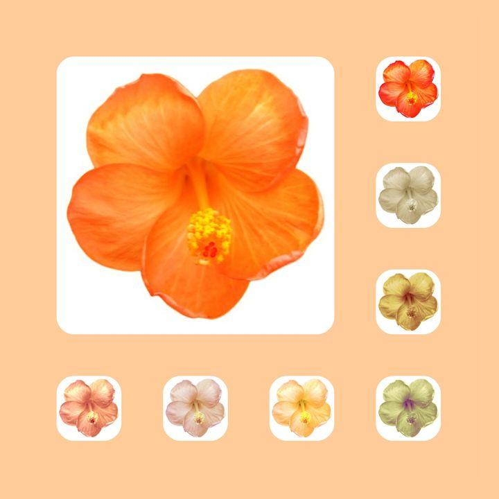 Hibiscus - CLA