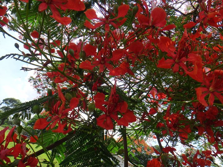 Flamboyant tree - Red flowers - CLA