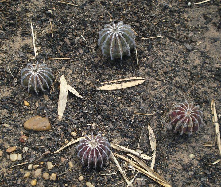 Cactus, cacti or cactuses - CLA