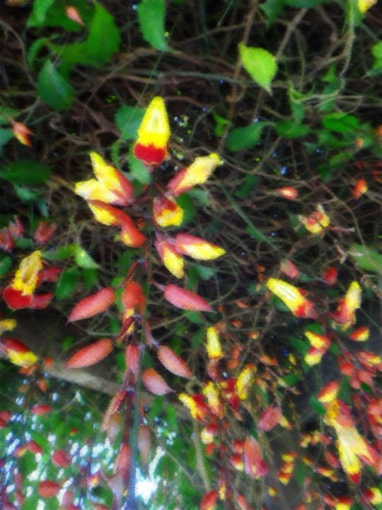 Thunbergia mysorensis - Flowers - CLA