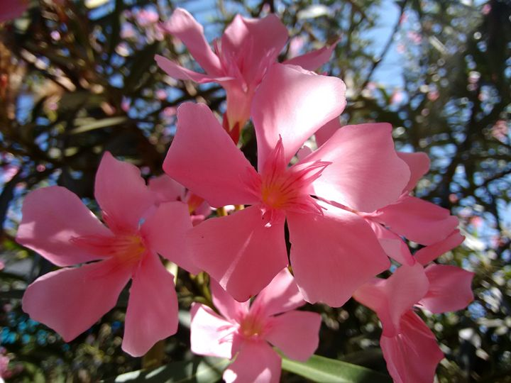 Oleander flowers pink cla photography flowers plants oleander flowers pink cla mightylinksfo