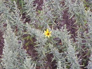 SunFlower in White Sage