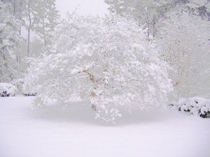 Dogwood In Snow