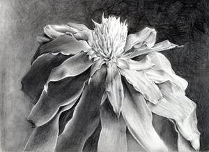 Picairnia tabuliformis