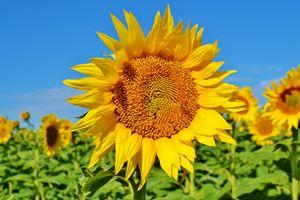 Sunflower w/ bee
