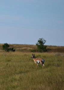 Pronghorn antelope in field