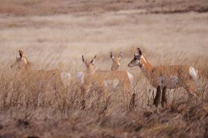 Pronghorn antelope in high grass