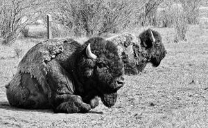 Montana Bison - Mistyck Moon Creations Gallery