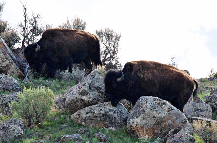 Gardiner Montana Bison - Mistyck Moon Creations Gallery