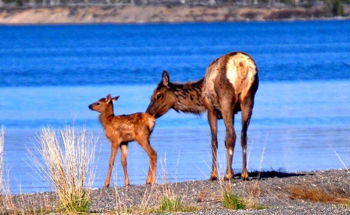 Mom and Baby Elk - Mistyck Moon Creations Gallery