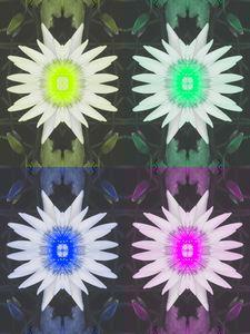 Lotus Pop