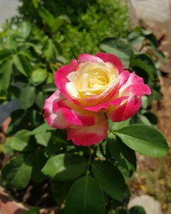 A Rose of all season