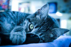 Kool Kitten - Blue Hue