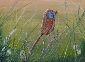 Emu Wren - Gregory J Farrugia