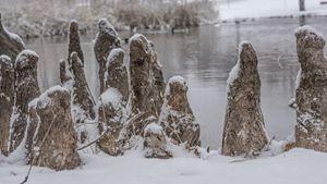 Snow on the stumps.