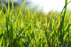 grass with dew drops at sunrise