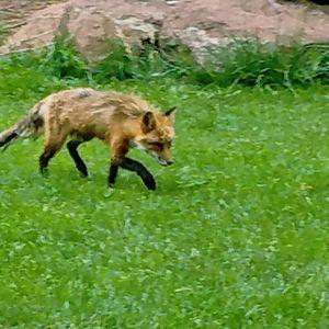 Fox - HUNTERPC1
