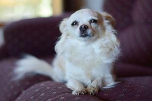 Sophie the applehead Chihuahua