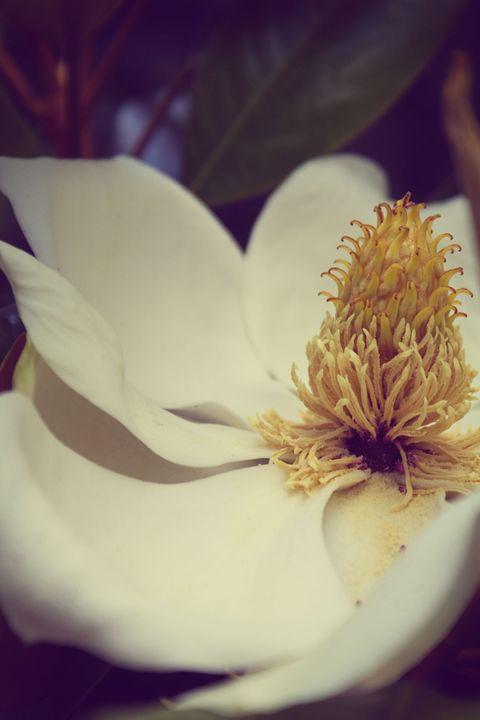Magnolia - RK Photography