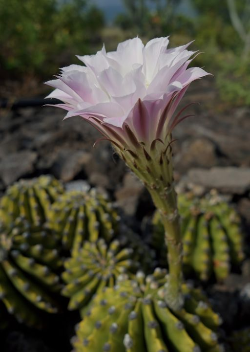 Blooming Cacti - Photography by Pamela