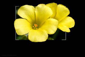 oxalis pes-caprae yellow flower