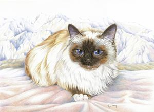 Le chat birman - Birman cat