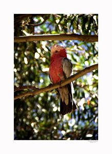Galah Cockatoo