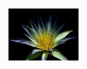 Water Lilies Flower