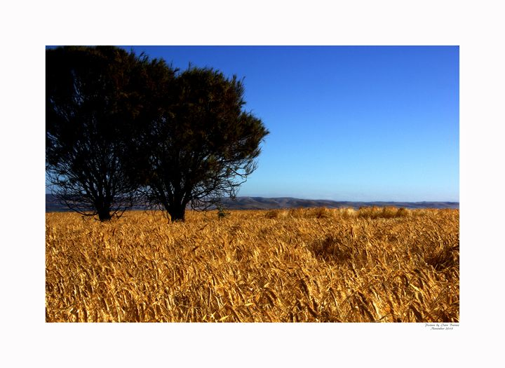 Wheat - Aldinga Photos Gallery