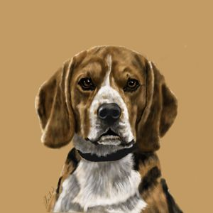 Beagle Portrait