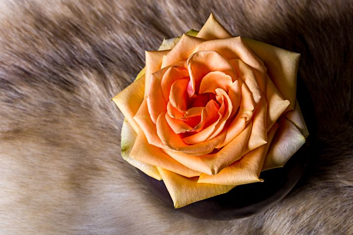 Rose - Photography Vos