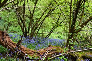 Bluebells in Priors Wood